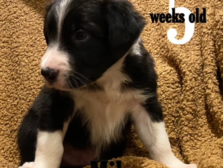 Milo! 5 Weeks and Counting!
