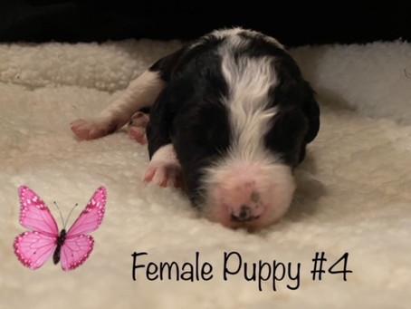 Sold! Puppy #4