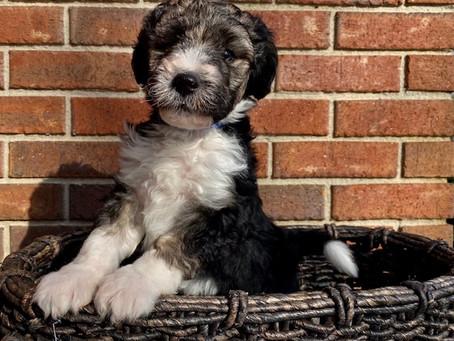 Attn:  Bronwyn's Last Puppy Litter 2021!