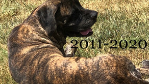 Our Lovely Hasna (English Mastiff)