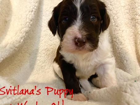Svitlana's Brown Puppy, 4 Weeks Old