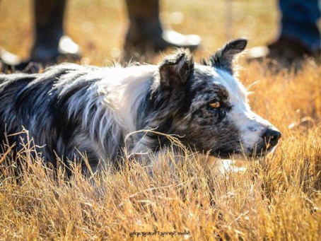 Part 1: Are You A Border Collie?