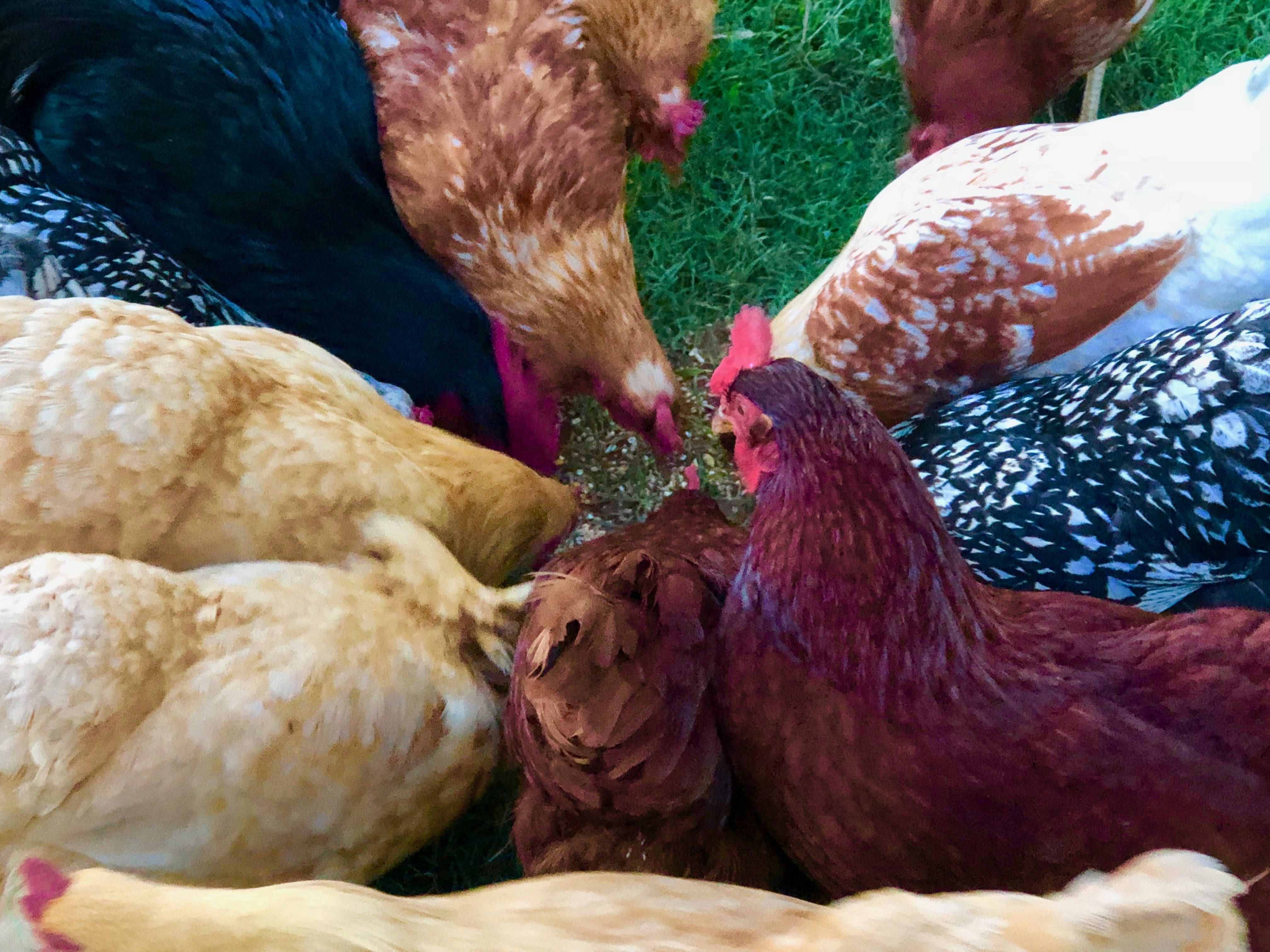 Chickens Feeding.jpg