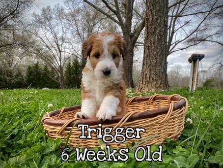 Trigger 6 Weeks Old
