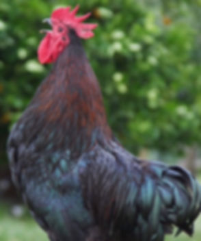 Rooster Crowing (1)_edited.jpg