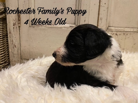 Rochester Family's Puppy! 4 Weeks Old and Counting!!