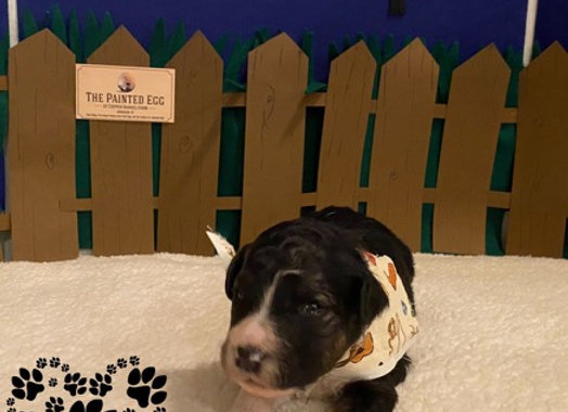 Border Collie Puppies Born January 28th **Sold Out**