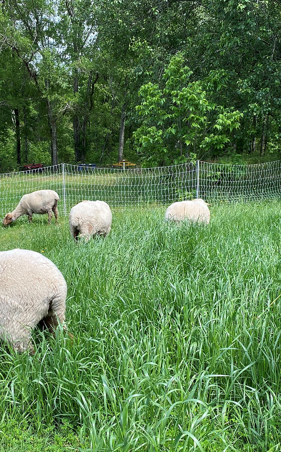 Sheep in green grass.jpg