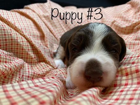 Sold! Puppy #3