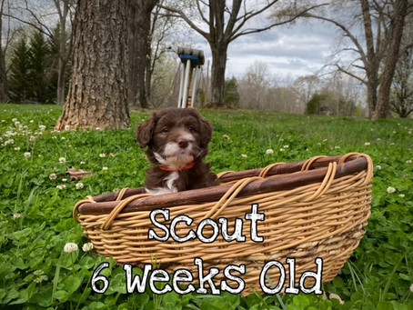 Scout 6 Weeks Old