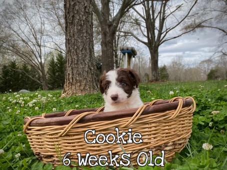 Introducing, Cookie 6 weeks old!