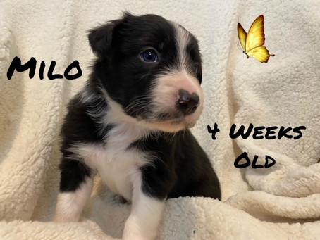 Milo, 4 Weeks Old