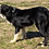Thumbnail: Border Collie Puppies (Late Jan 2021)