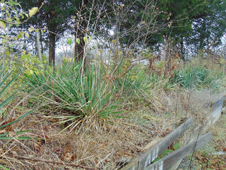 Why are Yucca Plants Found in Cemeteries?