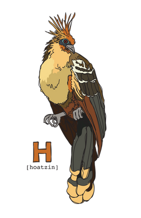 H is for Hoatzin