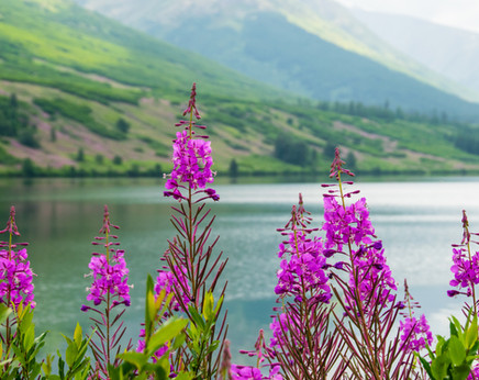 Lakeside Fireweed