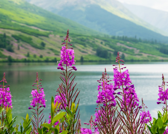 Lakeside Fireweed