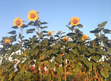 Be the Sunflower