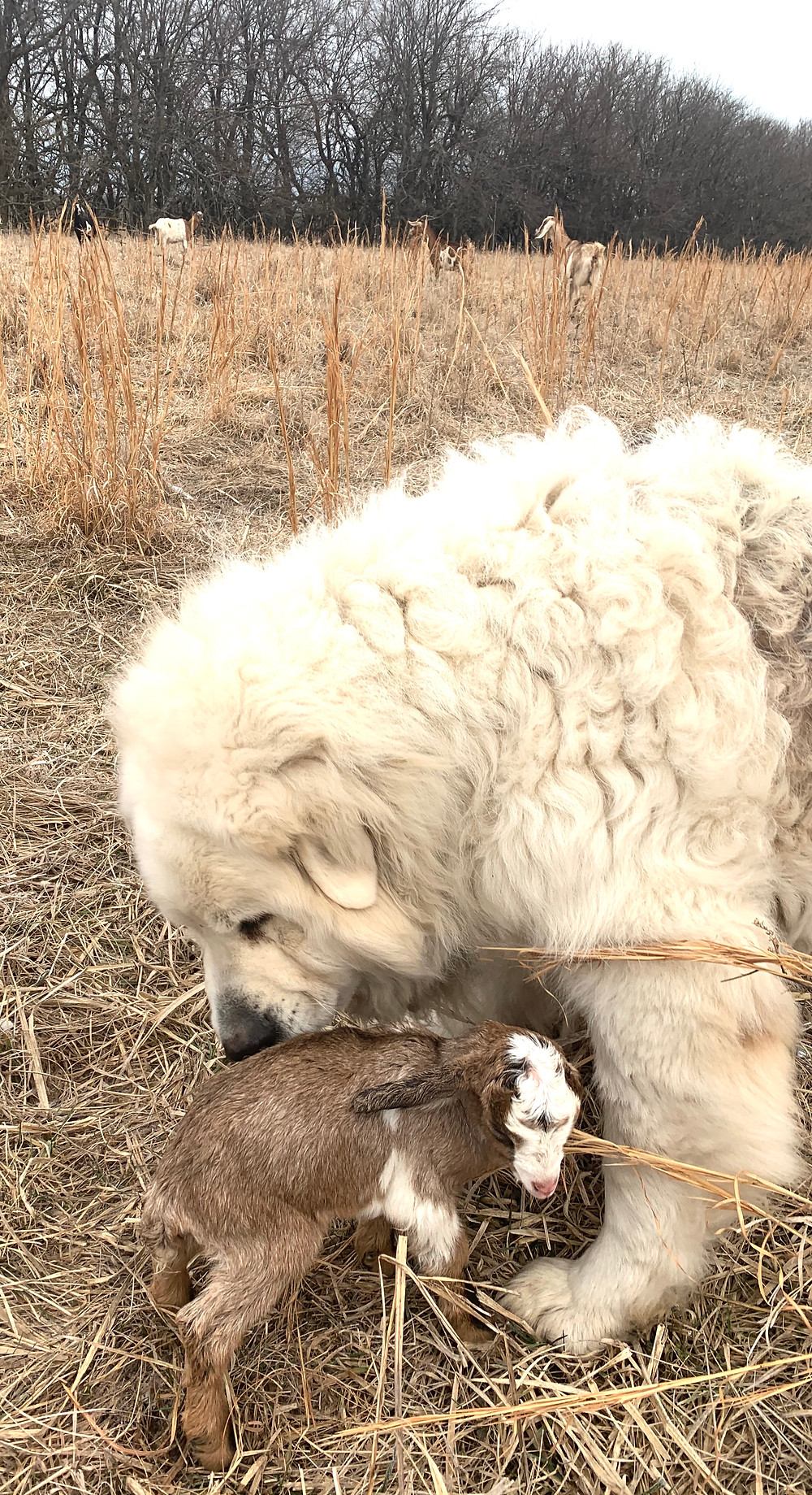 Bowser, Our Wooly Mammoth and Great Pyrenees, is a Great Protector, 2/7/20