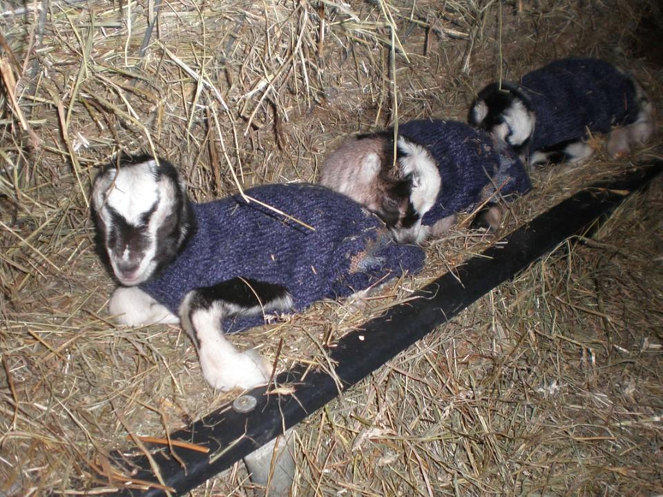 Goat Babies in a Manger, Dothan Ranch, 2008