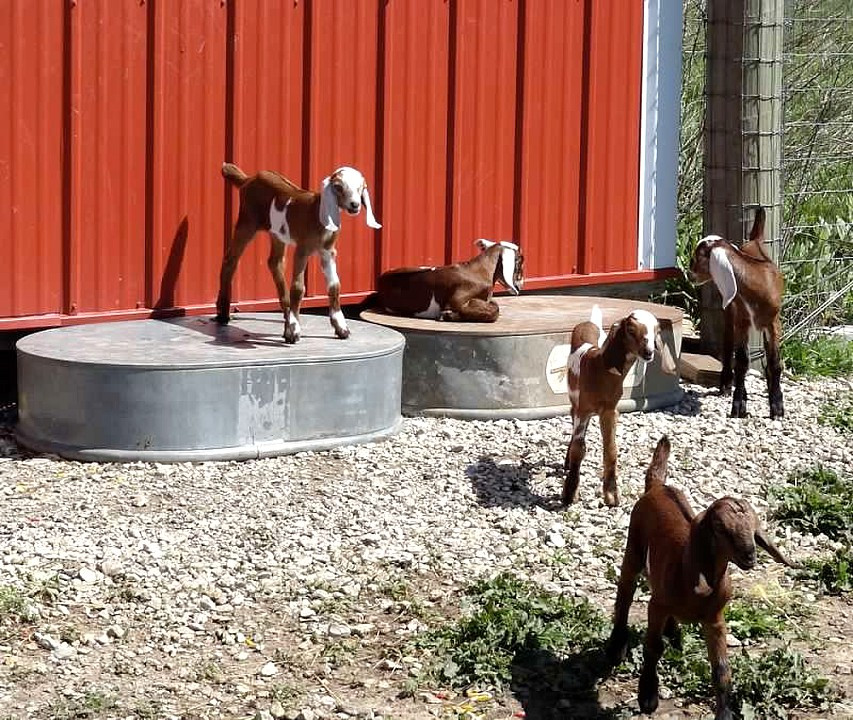 Our Dothan Ranch Goat Babies, Spring 2012? I can't remember now!