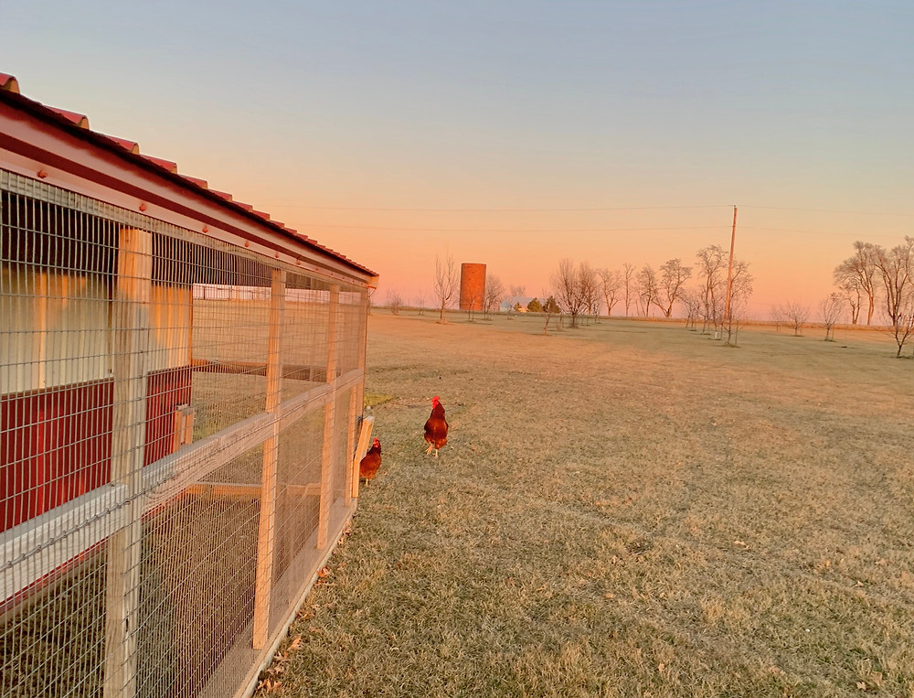 Our Rooster and One of His Hens, January 2020