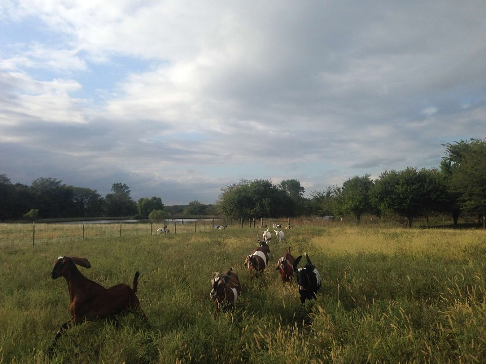 Our Goats Race Back to the Barn