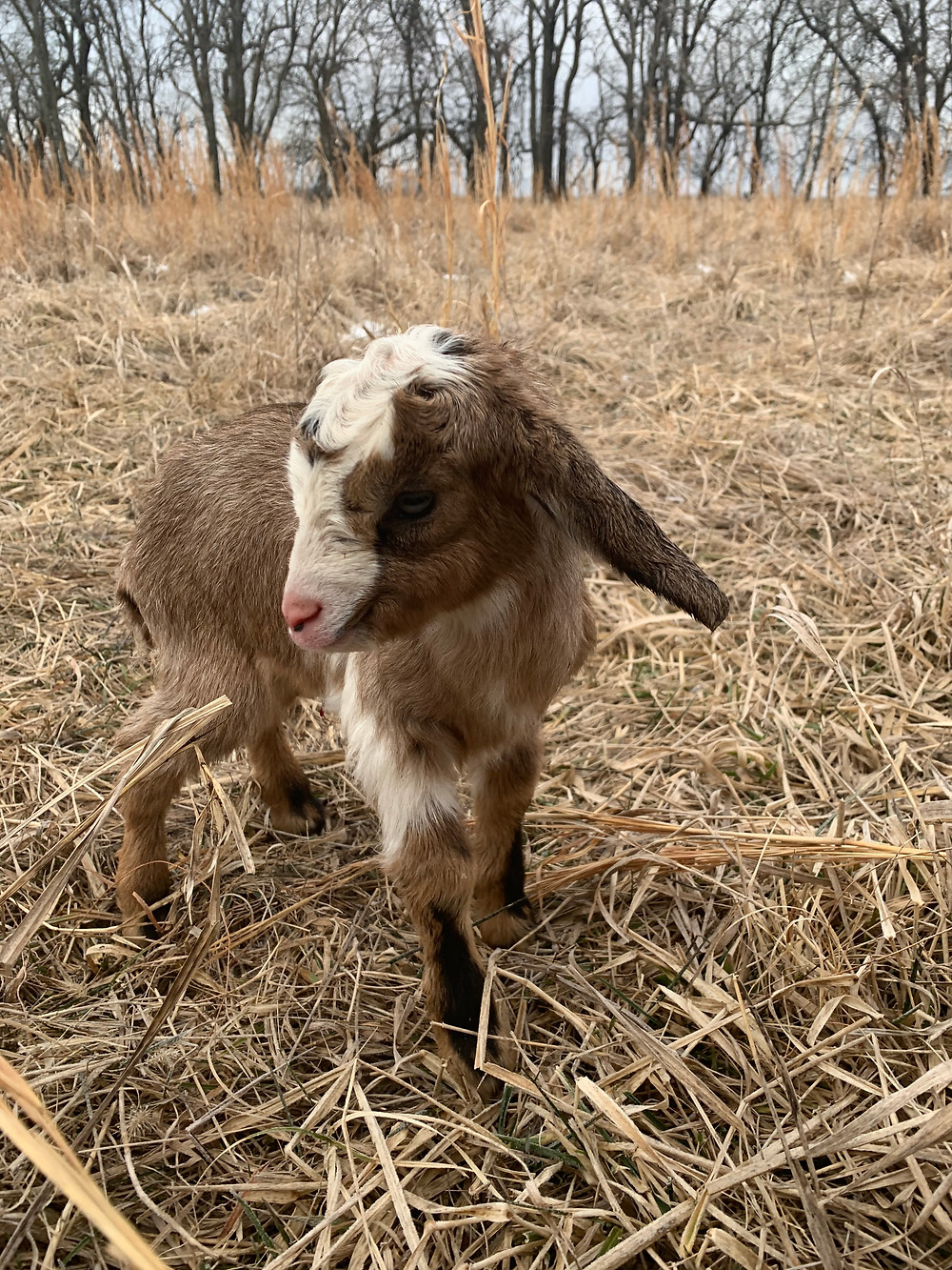 The Little Goat I Found on The Prairie, 2/7/2020