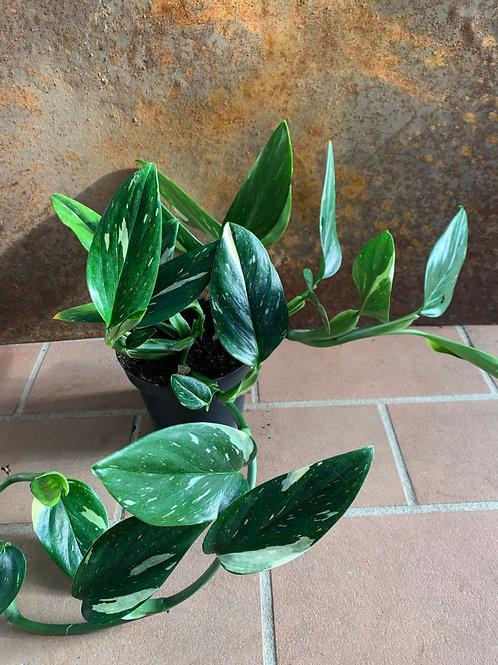 Philodendron 'Cobra'