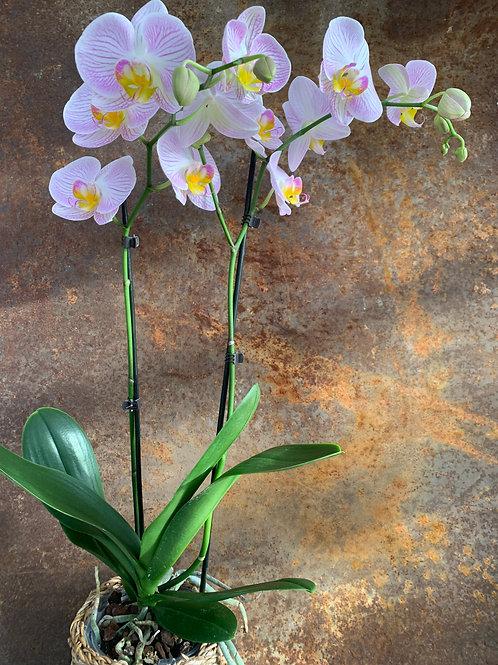 Phalanopsis orkidé