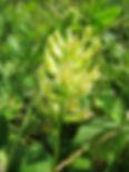 Propiedades medicinales del astragalo, e-book donde puedes ver todas la ropiedades de la raiz de astragalo, sus usos mdicinales, como cultivar el astragalo y mucho mas.