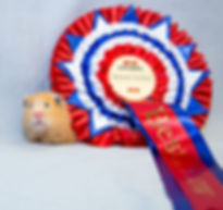 Best Hamster Syrian Crem AD  female Chri