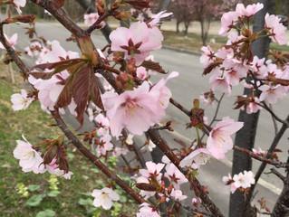 東京ミーティングは満開の桜の下で