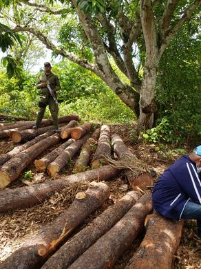 Miembros del SENPA incautan 26 trozas de pino caribea en Santiago Rodríguez