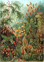 Haeckel_Muscinae.jpg