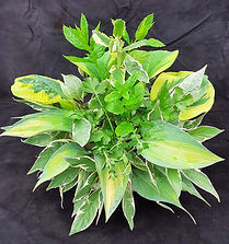 Class 19 Judith Parsons Foliage only.jpg