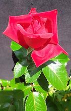 Class 1 Ian Parsons One speciment HT ros