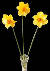 Class 14 Teresa Welch - Daffodils Three