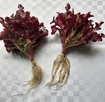 Class 29 Sue Goodsall 2 lettuces.jpg
