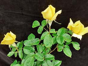 Class 3 Ian Parsons Three HT roses, one