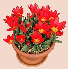 Class 30 Teresa Welch - Red Tulips Final