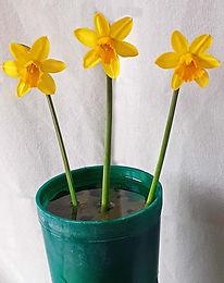 Class 1 Judith Parsons - Three blooms. D