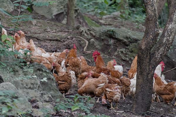 Chicken free-range roaming no antiobitics no hormones