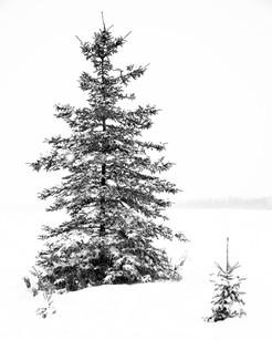 Winter Spruce