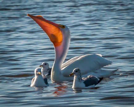 American White Pelican surrounded by Gulls