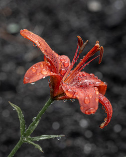 Lily After Rain
