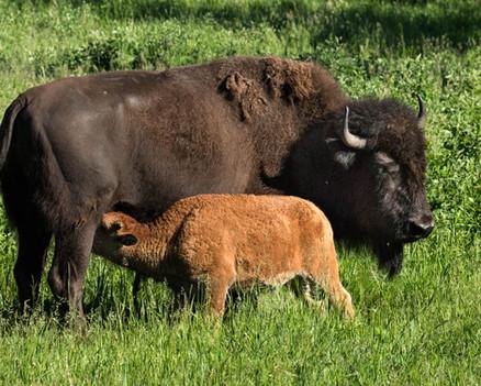 Plains Bison Cow & Calf