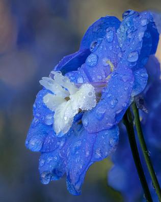 Delphinium After Rain