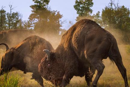 Head-butting Plains Bison