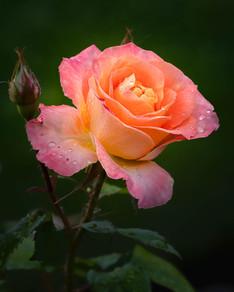 Rose 0613